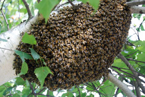 Swarming is a natural instinct of honeybees that occurs chiefly from spring to early summer.