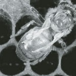A honeybee found with deformed wing virus and Varroa mites.