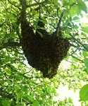 Swarm Catching: A Fun [Club] Opportunity?