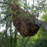Honey Bee Swarm in Tree in Maine