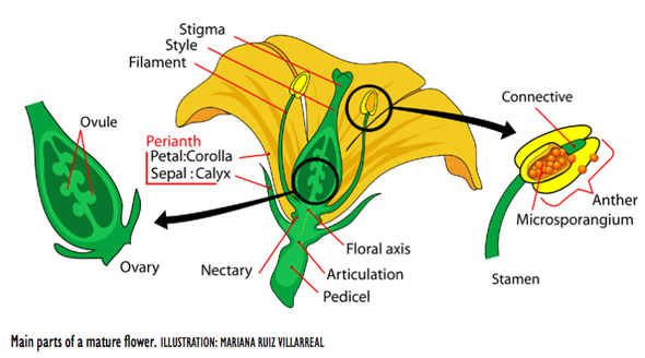 Main parts of a mature flower. ILLUSTRATION: MARIANA RUIZ VILLARREAL