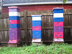 Fall 2011 saw Jodi's newly expanded apiary thriving and reaching toward the sky!