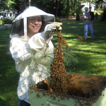 Sarah Gould installs a freshly caught swarm of bees.