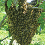swarm-of-bees-photo-featured-image